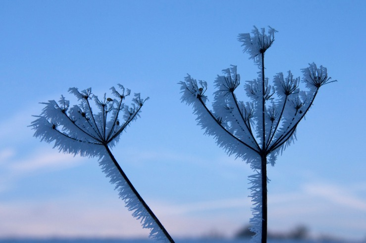 Cow Parsley in the frost