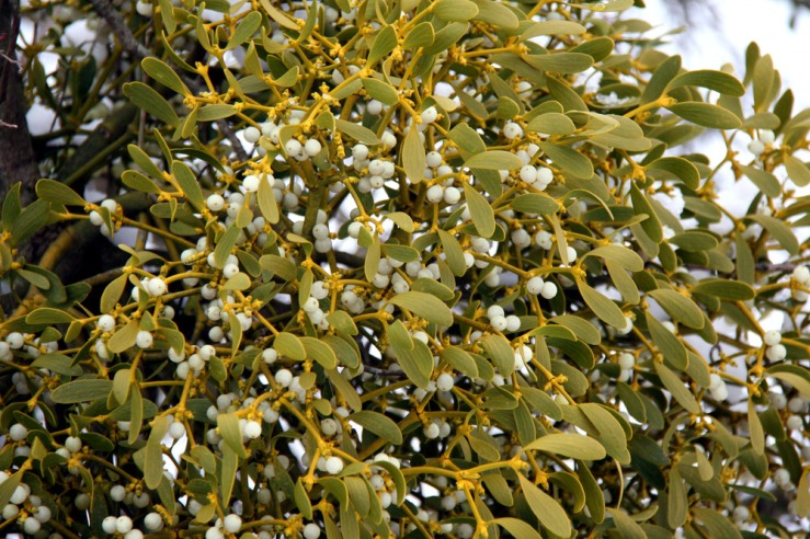 Mistletoe growing wild in Sussex