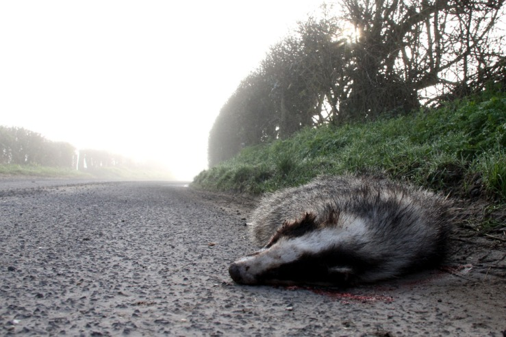 Dead badger on the road