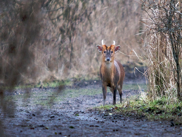 Muntjac deer in Midhurst