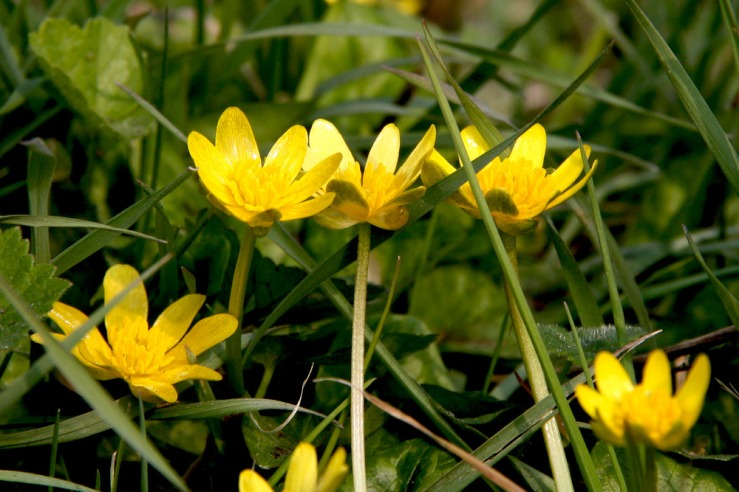 Hedgerow Celandine