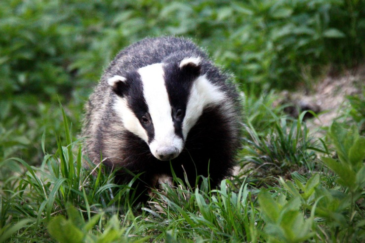 South Downs Badger
