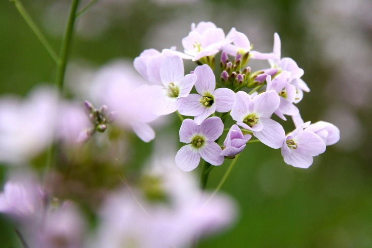 Cuckoo flower South Downs