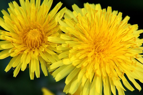Dandelion_in_flower_sml