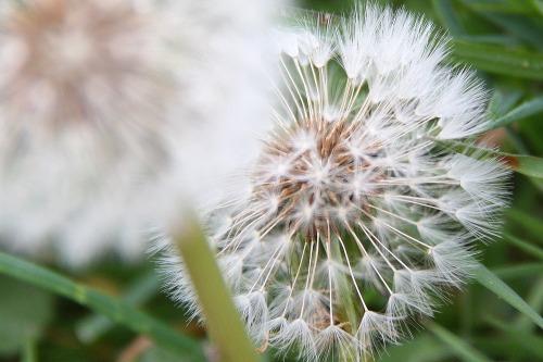 Dandelion_in_seed_sml