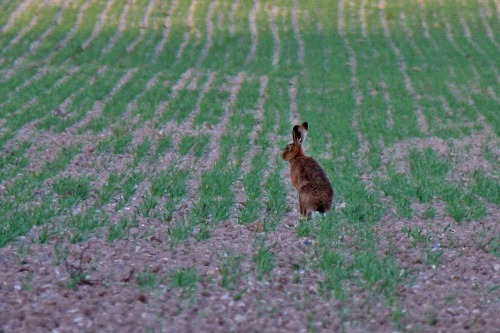 Hare_at_bepton_west_sussex_south_downs