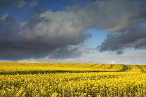 Oilseed_rape_field_of_yellow_flowers_in_west_sussex