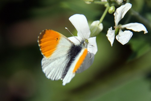 Orange_tip_butterfly_sml