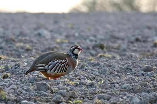 Red_legged_partridge