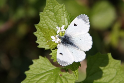 Small_white_butterfly_on_a_gar