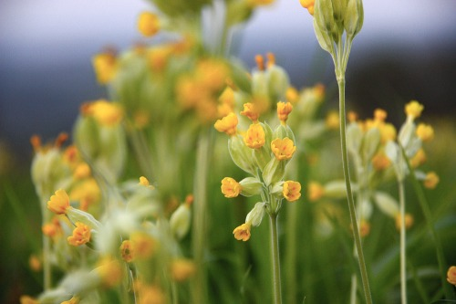 South_downs_cowslip_field_sml