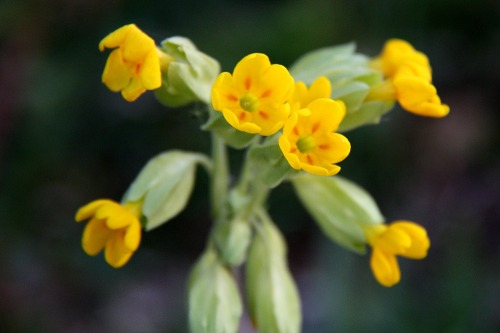 South_downs_cowslip_sml