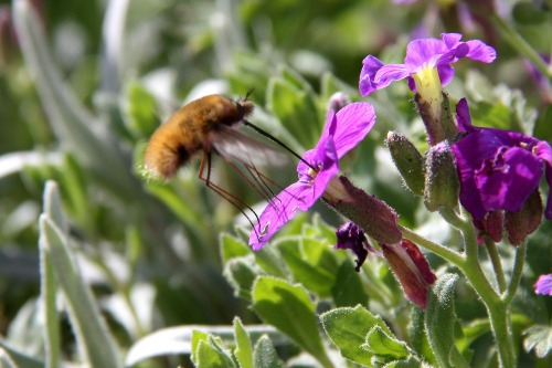 Sussex_bee_fly