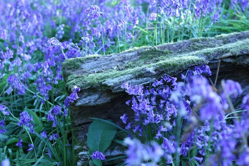 Sussex_bluebell_woods_sml