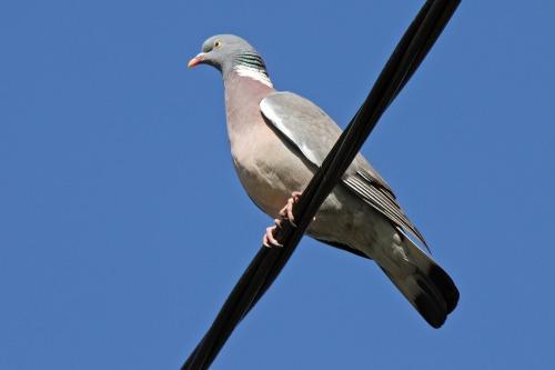 Wood_pigeon_ru-hoo_ru_ru-hoo