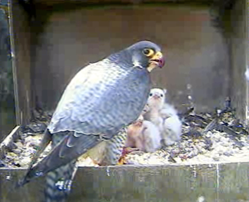 06_may_2011_photo_of_chichester_cathedral_peregrine_feeding_chicks_on_webcam