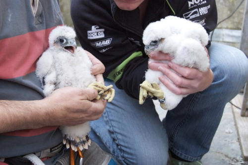 18_may_facebook_chichester_peregrines