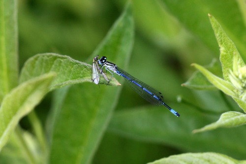 Common_blue_damselfly_bepton_notable_road_verge