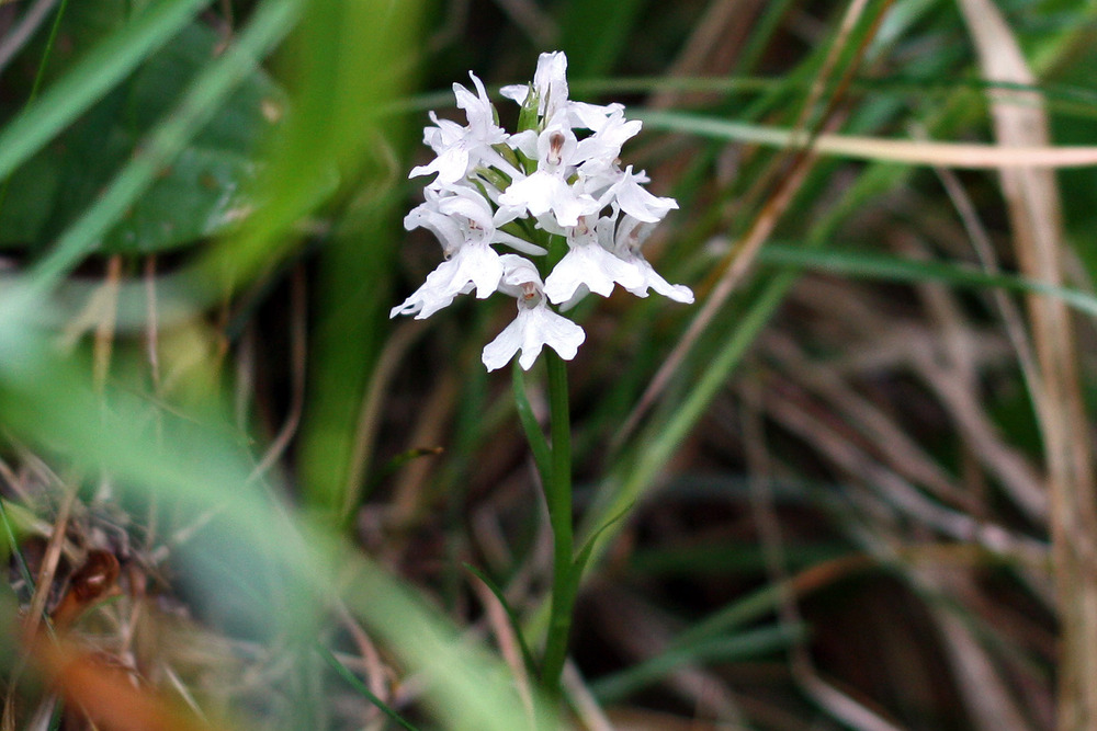 white spotted orchid flower - photo #6