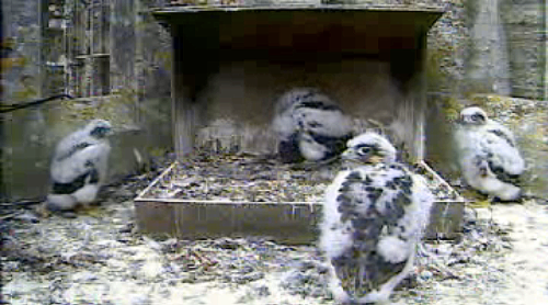 Growing_peregrine_chicks_and_nest_23_may_2011_chichester_cathedral_webcam_photo