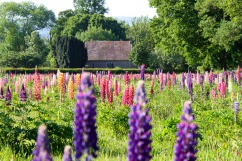 lupins_growing_wild_at_national_trust_church_field_terwick-scaled1000