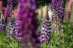 purple_white_lupins_growing_wild_at_national_trust_church_field_terwick-scaled1000