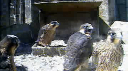 Chichester_cathedral_peregrine_nest_chicks_webcam_03_june_2011