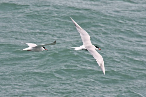 Flock_of_common_terns_at_southsea_pier