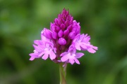 pyramidal_orchid_on_the_bepton