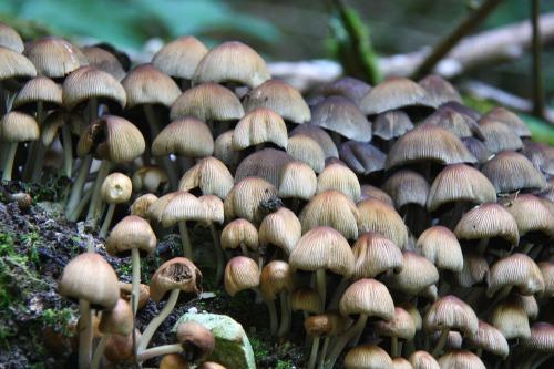 Glistening_ink_cap_mushroom_coprinus_micaceus