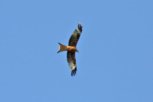 Red_kite_above_bepton_road_near_midhurst