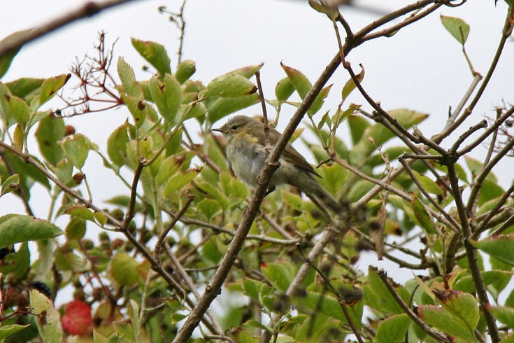 Willow Warbler Migration across West Sussex