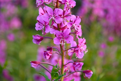 Rosebay_willowherb_on_the_south_downs_west_sussex