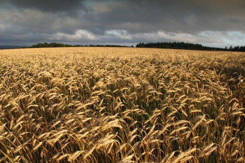 South_downs_wheat_field_before_a_storm