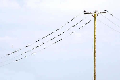 129_swallows_on_electricity_cables