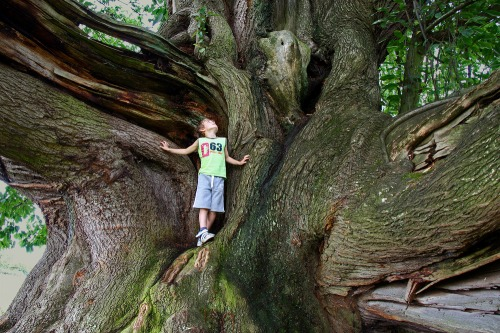 Cowdray_colossus_giant_chestnut_tree