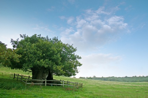 Queen_elizabeth_i_oak_tree_cowdray_park_blog