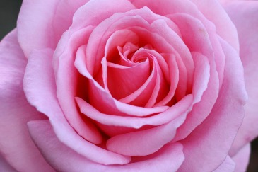 sussex_autumn_pink_rose-scaled1000
