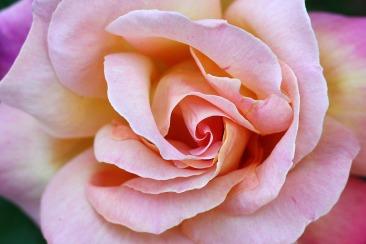 sussex_autumn_rose-scaled1000