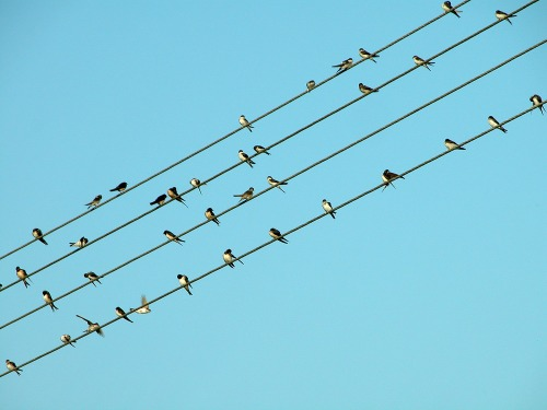 Swallows_on_electricity_lines