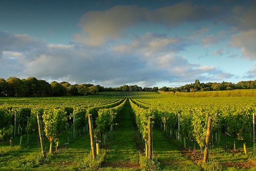 Upperton_vineyard_near_petworth_west_sussex