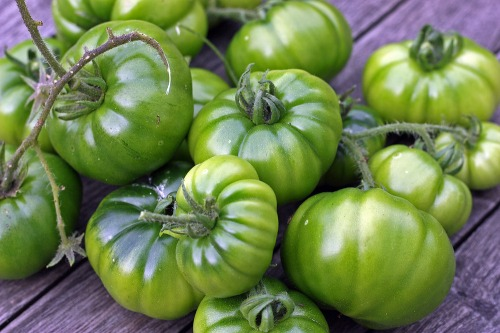 Sussex_green_tomatoes