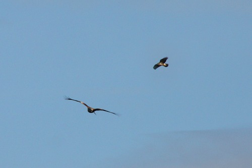 Photo_of_red_kites_and_buzzard_on_south_downs