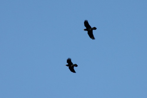 Photo_of_sussex_downs_ravens