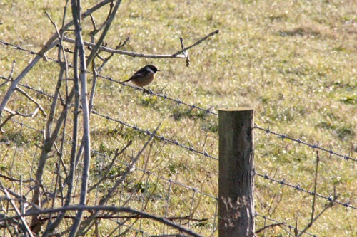 Photo_of_sussex_downs_stonechat