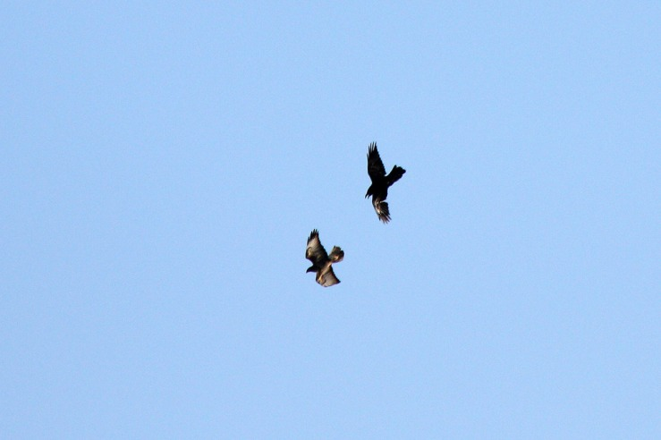 Raven and Buzzard