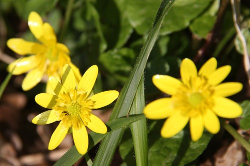 South_downs_celandine