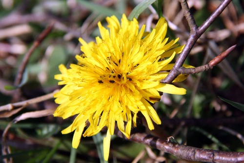 South_downs_dandelion