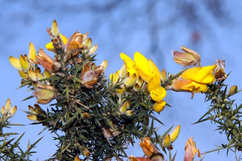 South_downs_gorse_flower