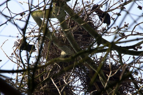 looking_up_at_a_rooks_nest_in_spring-scaled1000